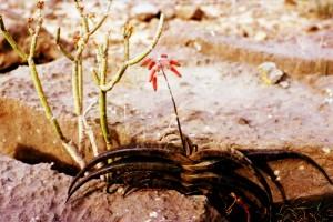 Aloe-fleurentinorum---Jacques-Fleurentin