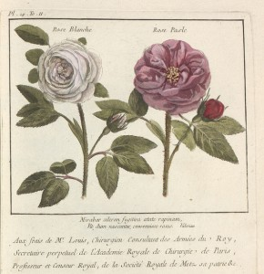 Rose Blanche et Rose Pasle - Pierre-Joseph Buc'hoz - Coll. BM Metz